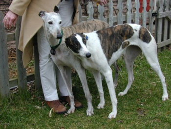 Trevor (left) teaches Lacey the 'Greyhound Lean.' :: Trevor and Lacey were adopted by Charley and Jan Smart.