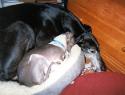 Buddy was adopted by Leon & Diane Lake :: Buddy in his foster home, curling up with his little friend.