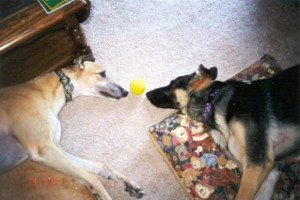 Too tired to play ball. Ace (greyhound) and Nanook (German Shepherd) belong to Tim and Denise Fetting.